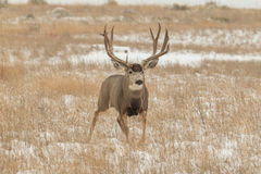 Самец оленя оленей осла идя в снег Стоковое Изображение