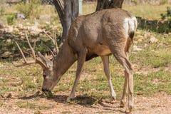 Самец оленя оленей осла пася в лесе Стоковое Изображение RF