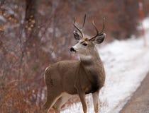 Самец оленя оленей осла смотря к левой стороне Стоковые Фотографии RF