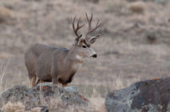 Самец оленя оленей осла смотря к праву Стоковая Фотография