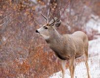 Самец оленя оленей осла смотря к праву Стоковое Изображение