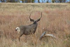 Самец оленя оленей осла смотря на прочь Стоковое Изображение