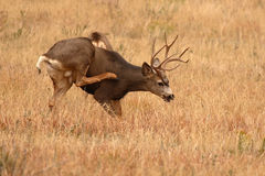 Самец оленя оленей осла царапая зуд Стоковое Изображение