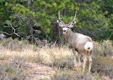 Самец оленя оленей осла Стоковое Фото