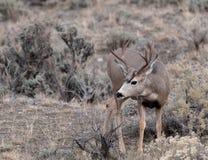 Самец оленя оленей осла Стоковое Изображение RF