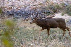 Самец оленя оленей осла Стоковые Изображения RF