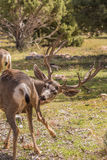 Самец оленя оленей осла Стоковые Фото