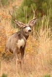 Самец оленя оленей осляка смотря назад Стоковое Изображение RF