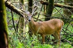 Самец оленя оленей Whitetail бархата в бухте GSMNP Cades Стоковые Фотографии RF
