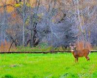 Самец оленя оленей Whitetail стоковые изображения
