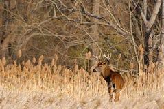 Самец оленя оленей Whitetail стоковая фотография