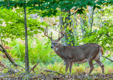Самец оленя оленей Whitetail Стоковое Фото