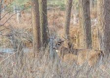 Самец оленя оленей Whitetail Стоковые Фотографии RF
