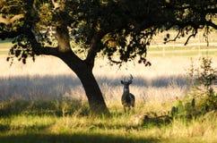 Самец оленя оленей Whitetailed с нетиповыми Antlers Стоковое Фото