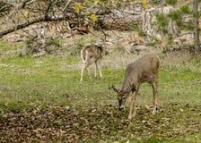 Самец оленя пасет деревом Стоковое Фото