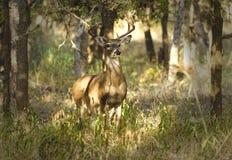 самец оленя 10 пунктов стоя на внимании Стоковые Изображения