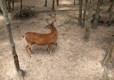 Самец оленя смотря ОН назад Стоковые Фотографии RF
