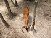 Самец оленя со своей головой вниз Стоковое фото RF