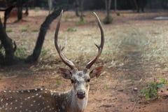Самец оленя с красивыми & сильными рожками Стоковые Фотографии RF