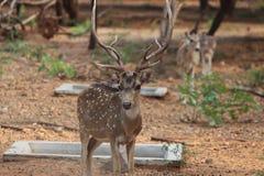 Самец оленя с красивыми & сильными рожками Стоковое Изображение