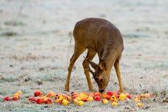 Самец оленя Яблока Стоковое фото RF