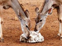 Самец оленя Kudu Стоковое Фото