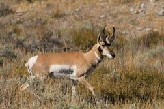Самец оленя Pronghorn в колейности Стоковая Фотография