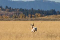 Самец оленя Pronghorn идя прочь Стоковая Фотография