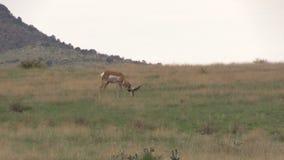 Самец оленя Pronghorn пася Стоковое Фото