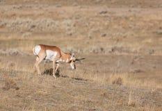 Самец оленя Pronghorn пася Стоковые Изображения