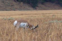 Самец оленя Pronghorn пася Стоковое Изображение RF