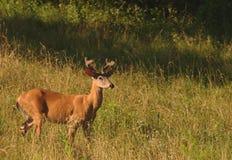 Самец оленя Whitetail бархата Стоковые Изображения