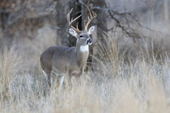 Самец оленя Whitetail в колейности ища лань Стоковая Фотография