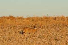 Самец оленя Whitetail в поле Стоковые Фото