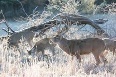 Самец оленя Whitetail с группой в составе делает Стоковая Фотография