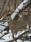 Самец оленя Whitetail Стоковые Фотографии RF