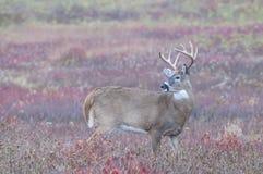 Самец оленя Whitetail Стоковое Изображение