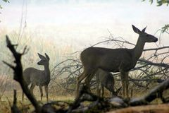 Самец оленя Yosemite & x28; Deer& x29; Стоковое Фото