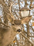 Самодовольный олень очищает вне фидер птицы и довольно горд Стоковые Изображения