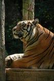 Самодовольный тигр Стоковая Фотография RF