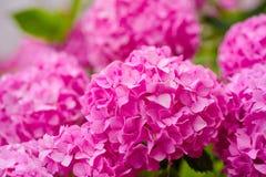 Самое лучшее для вашего сада Цветя завод hortensia Цвести цветки в саде лета Розовое цветене гортензии полностью стоковая фотография rf