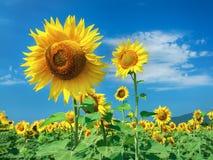 Самое милое поле солнцецветов с пасмурным голубым небом стоковое фото rf