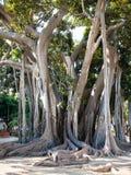 Самое старое дерево в городе Палермо в Giardino Garibaldi Стоковое Изображение
