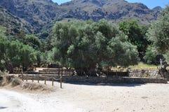 Самое старое оливковое дерево, оливковое дерево Moumental Kavousi Стоковые Изображения