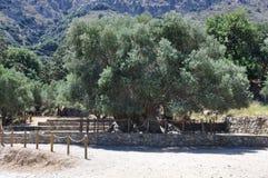 Самое старое оливковое дерево, оливковое дерево Moumental Kavousi Стоковое Изображение RF
