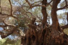 Самое старое оливковое дерево, оливковое дерево Moumental Kavousi Стоковые Фото