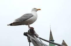 самолюбивая чайка Стоковая Фотография