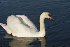 Самолюбивый взрослый лебедь Стоковые Фотографии RF