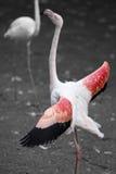 Самолюбивый розовый фламинго стоя высокоросл Стоковое Изображение