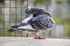 Самонаводя птица голубя прихорашиваясь просторная квартира пера дома Стоковые Изображения RF